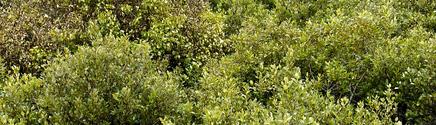 marsh bushes