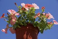 Petunia flowerpot