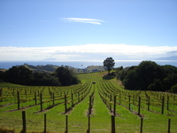 Waiheke Vineyard 1
