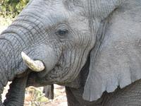 African Elephants 3