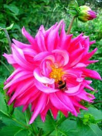 Dahlia & the Honeybee 2