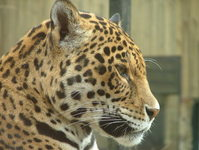 Leopard - Profile portrait