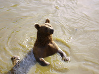 Ours en eau trouble