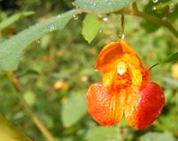 Impatiens Capensis Flower
