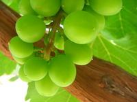 Grapes grapes grapes