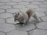 New York Squirrel 1