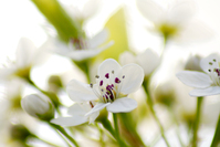 White flowering tree closeup