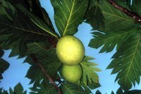 Fijian breadfruit