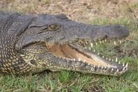 Crocodille