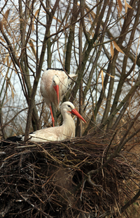 Stork couple nesting