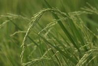 Rice Seedling 1