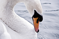 white_swan0 1