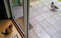 Cat vs duck II