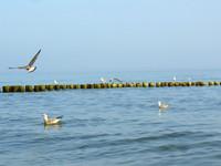 baltic seagulls