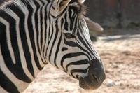 El Zebra
