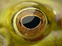 Frog eye 2