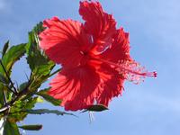 Hibiscus 2 5