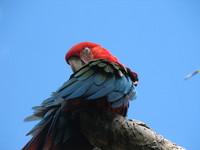 Parrot - Blue Sky