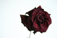 Old rose 2