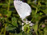 Papillon 01