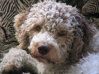 Animals Dog, Lagotto