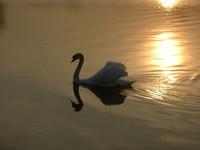 Swan 5