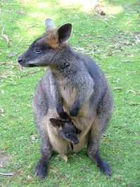 Kangaroo 1