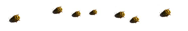 ladybee