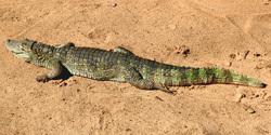 Small Aligator