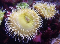 Sea Anemone 06