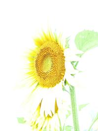 sunflower (bright)