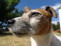 Jack Russell terrier Java