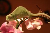 Chameleon on orchid 2