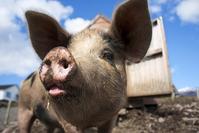 Piggy Upclose