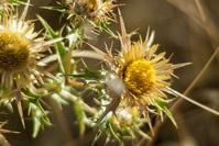 burdock flower