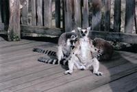 Funny Lemures