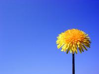dandelions new 4
