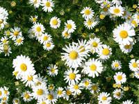 Texture Flower Daisy
