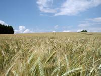 Grain field nr3