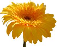 yellow flower 01