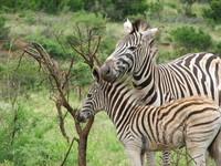 Zebra in Africa 3