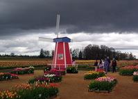 Tulip Farm 8