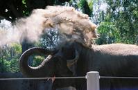 Elephant,Toss,Dirt,Zoo,Trunk