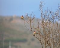 Jilgueros birds