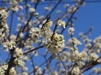 Plum Tree Blossoms 4