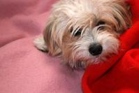 Dog in blankets