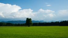 Green Field Landscape with single Tree