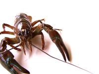 crayfish 5