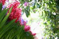 hyacinth row