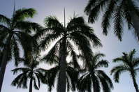 Aruba Palm Halo